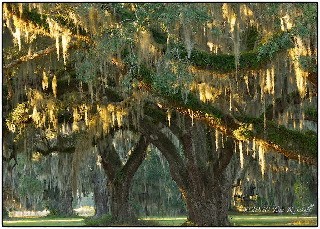 SC LIVE OAKS AT SUNRISE