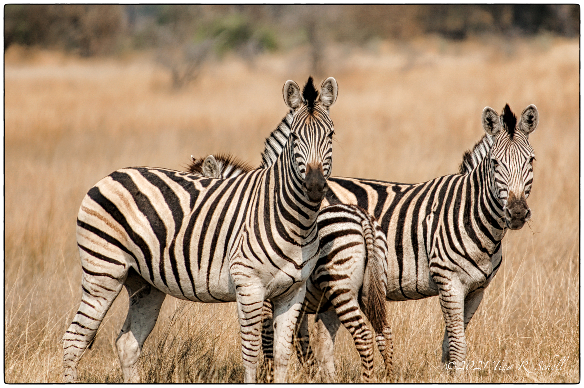 Parents and zebra foal