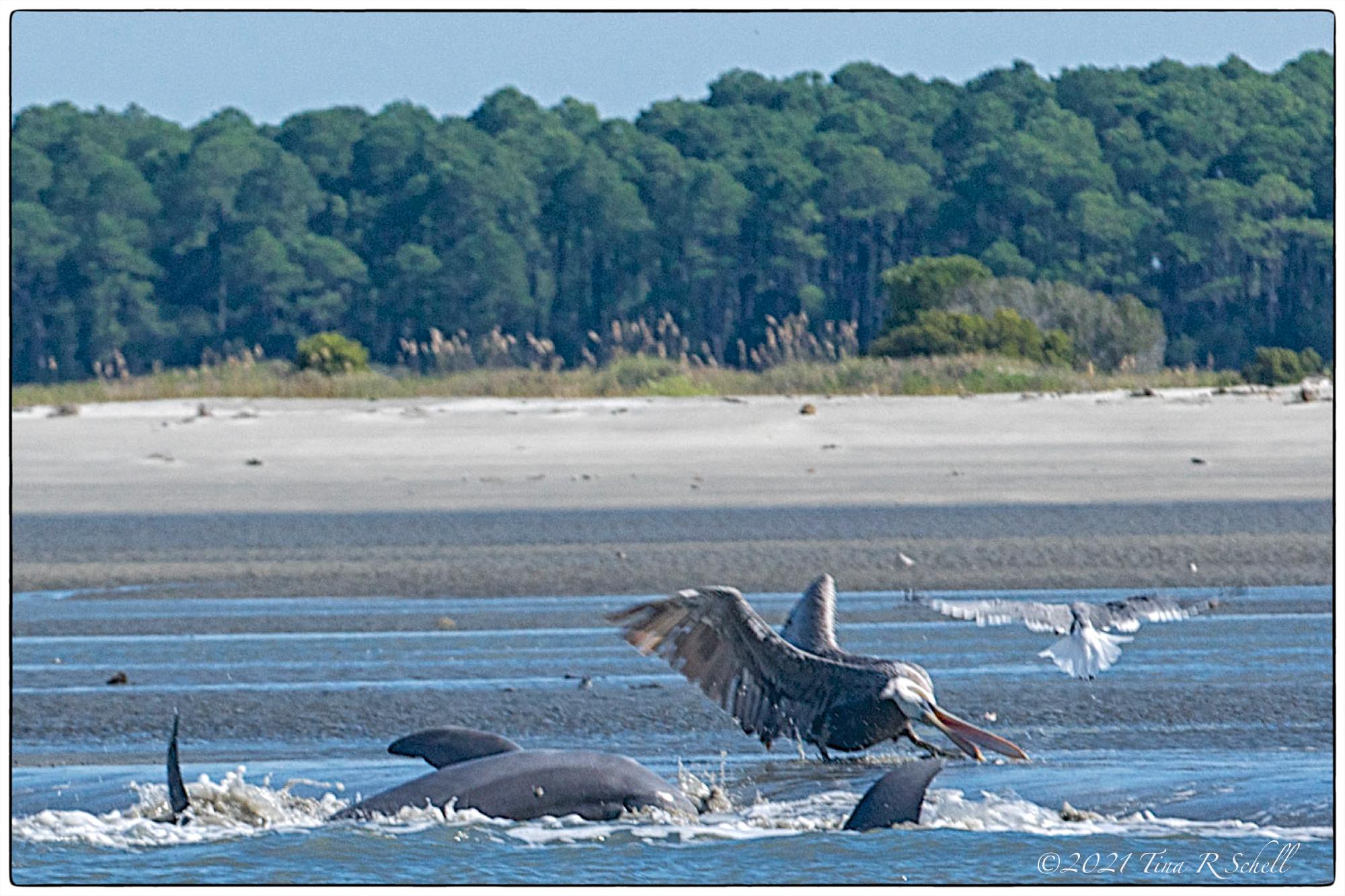 dolphins, pelican, strand feeding, Kiawah