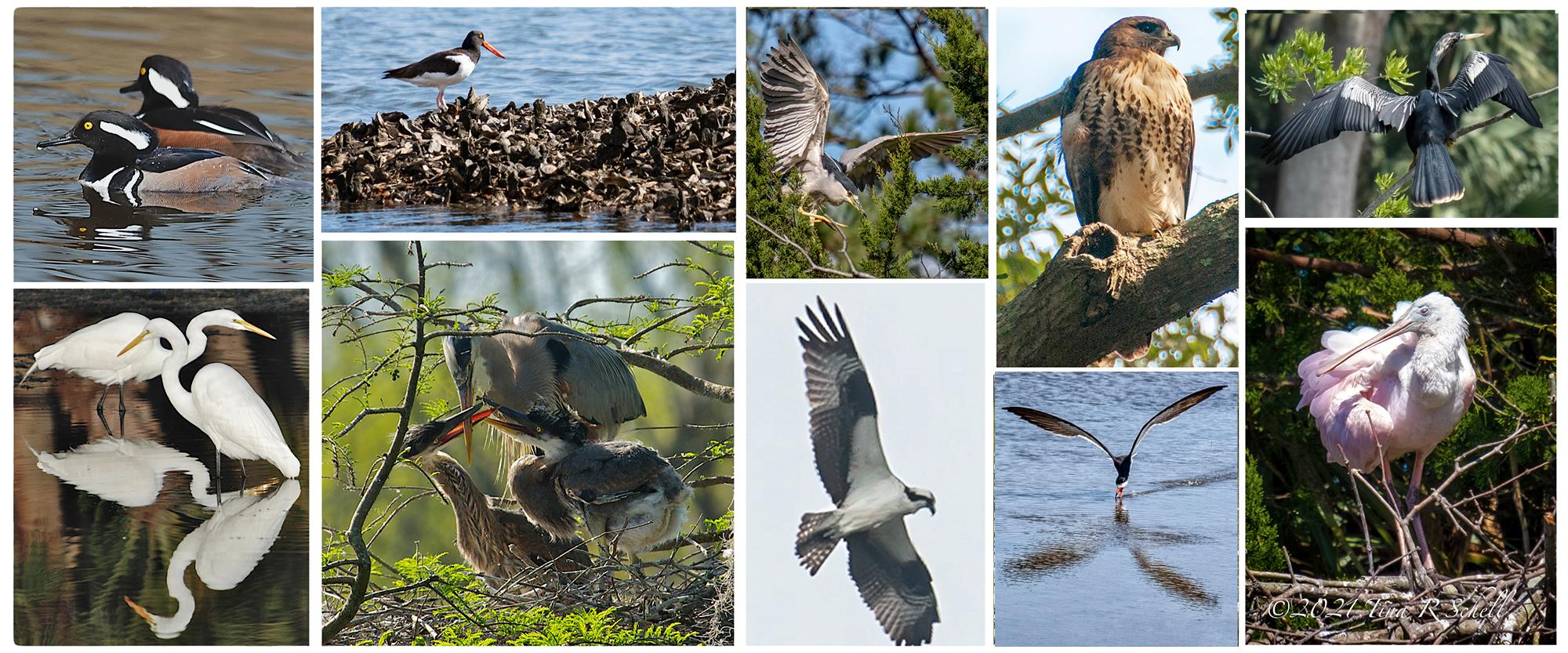 birds of kiawah island
