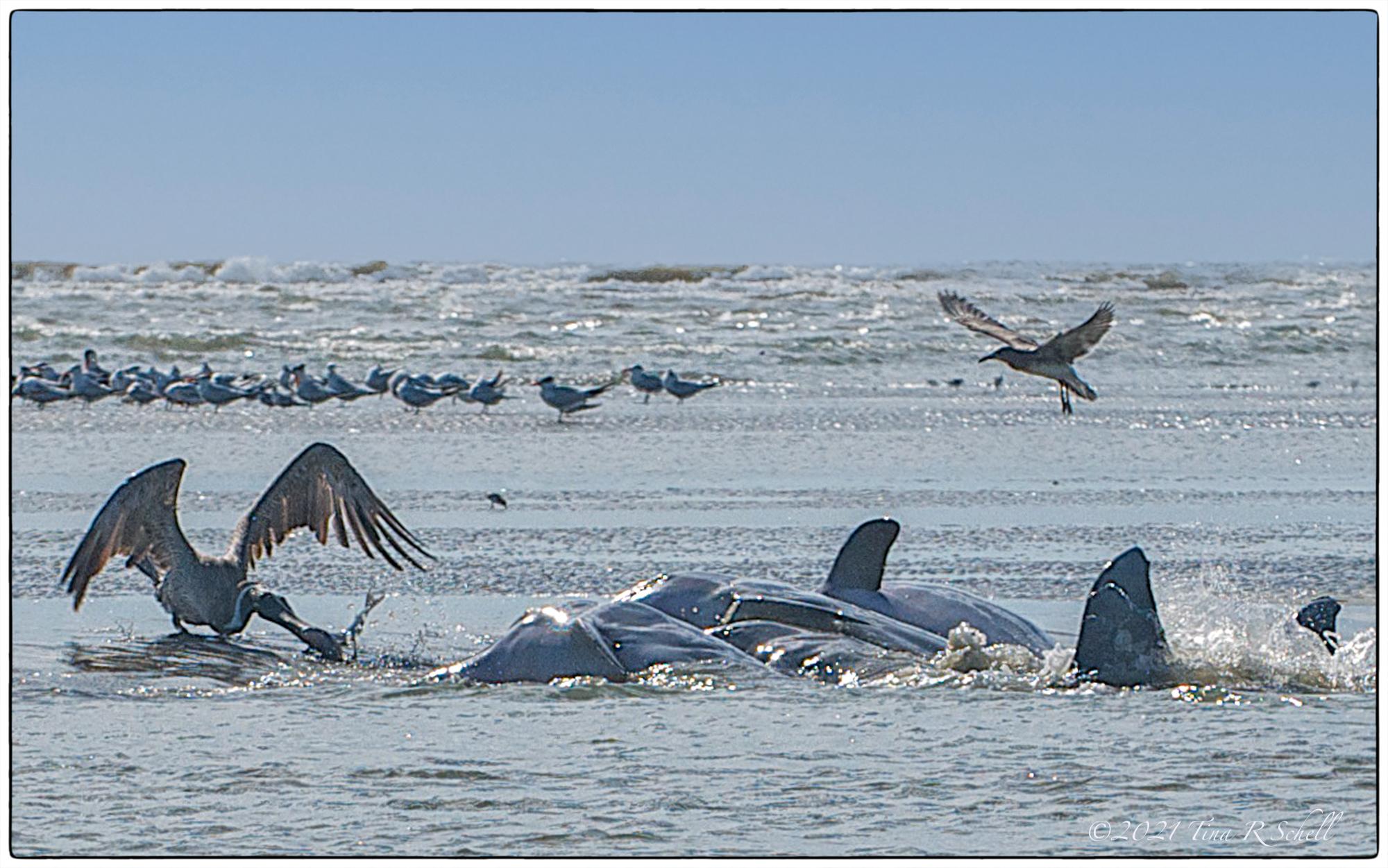 dolphins, pelican, strand feeding, ocean