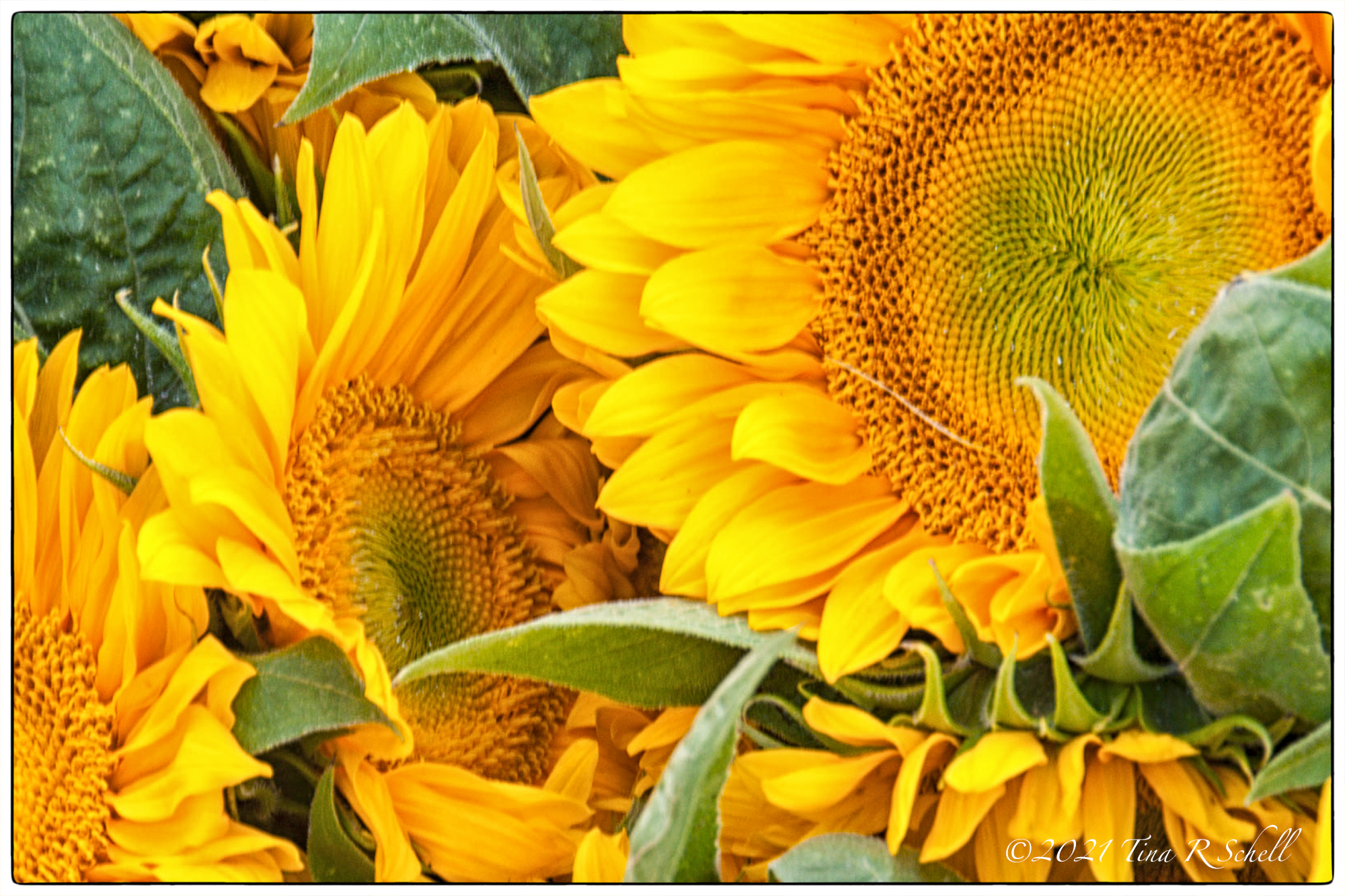 sunflowers, yellow
