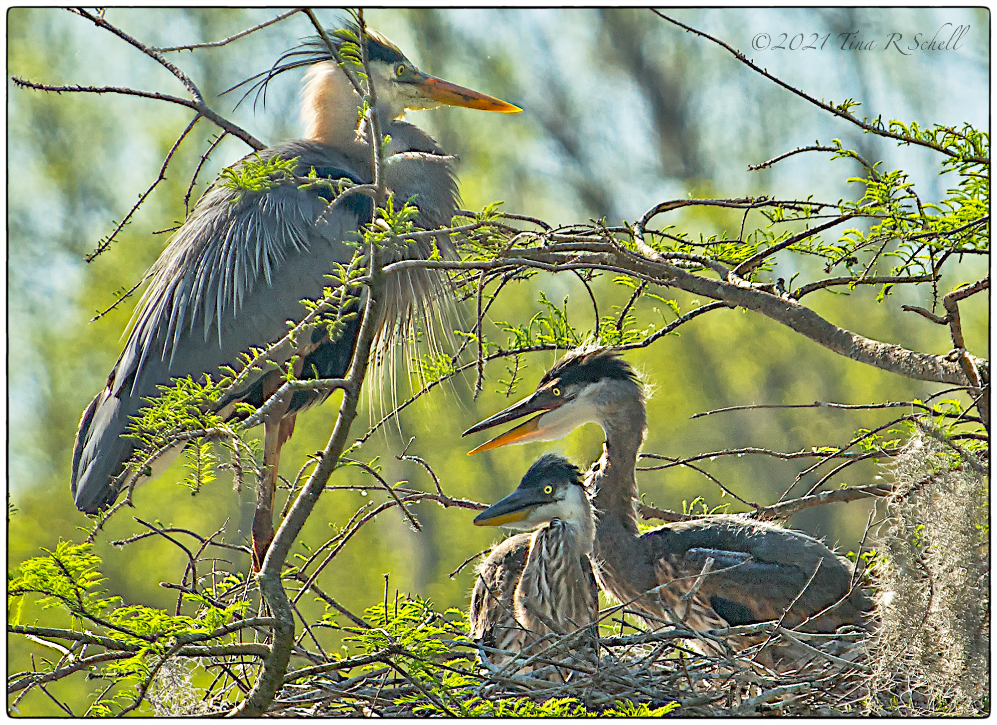 great blue heron, heron chicks, birds