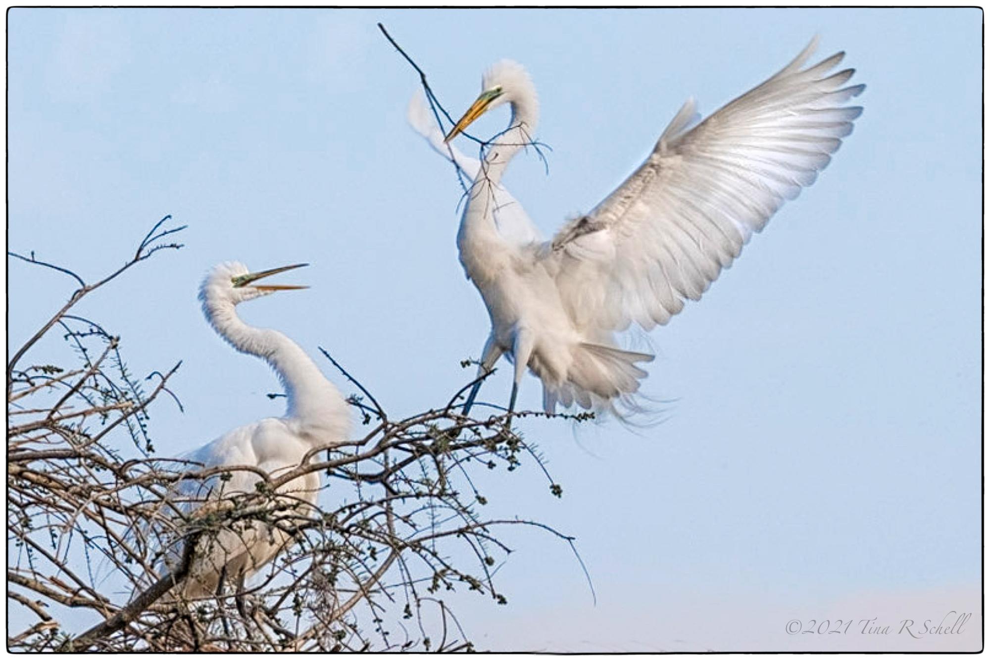 egrets, nesting