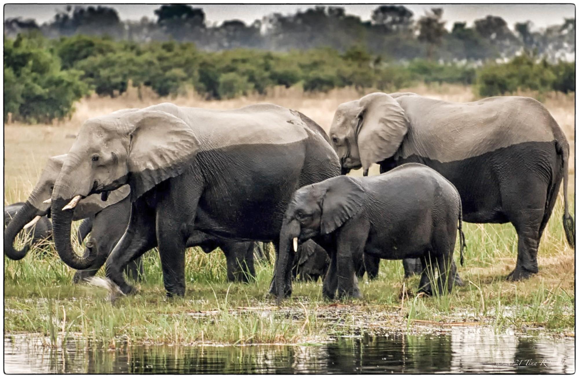 elephants, contrast, botswana