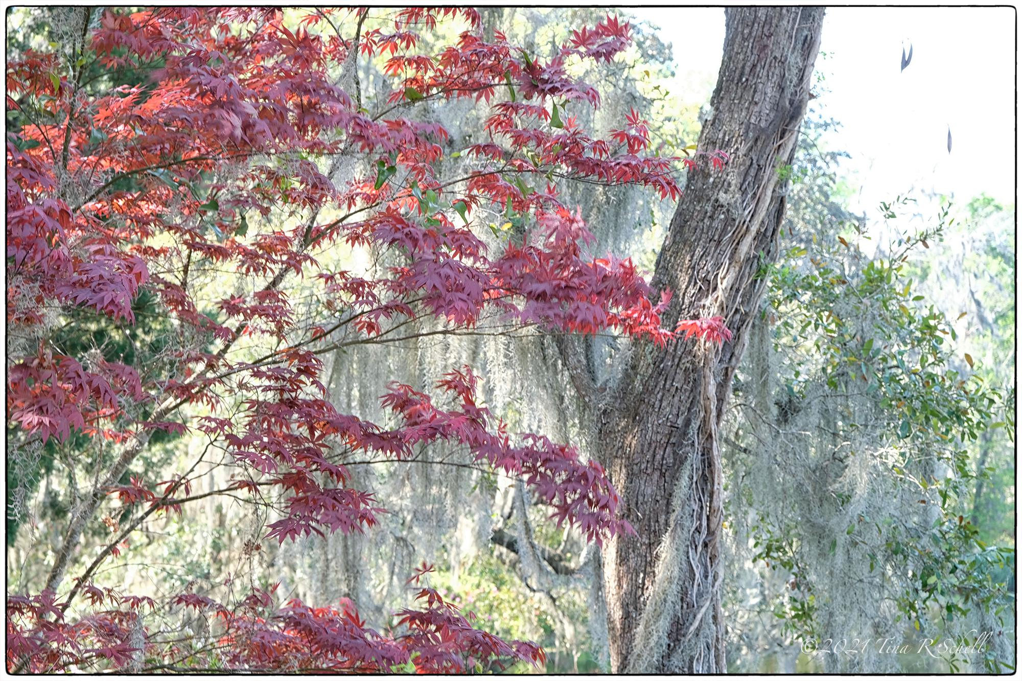 Japanese Maple, red, landscape, Middleton Plantation