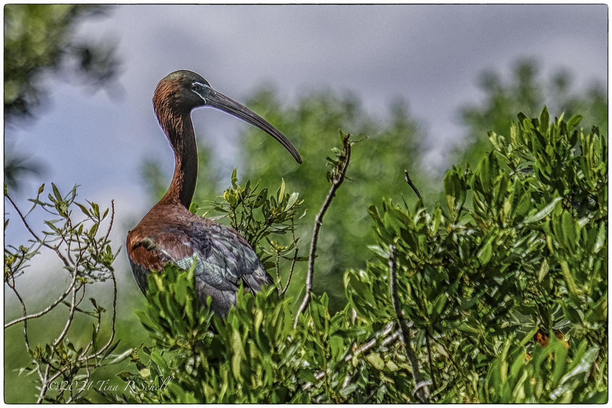 Glossy Ibis, bird, kiawah, nature