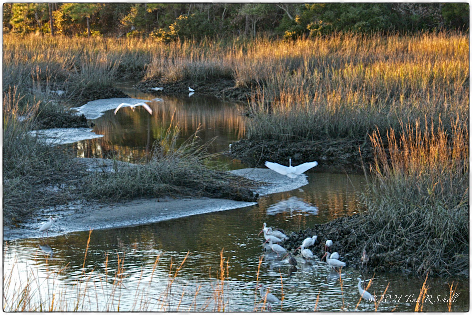 egrets, marsh, Kiawah Island