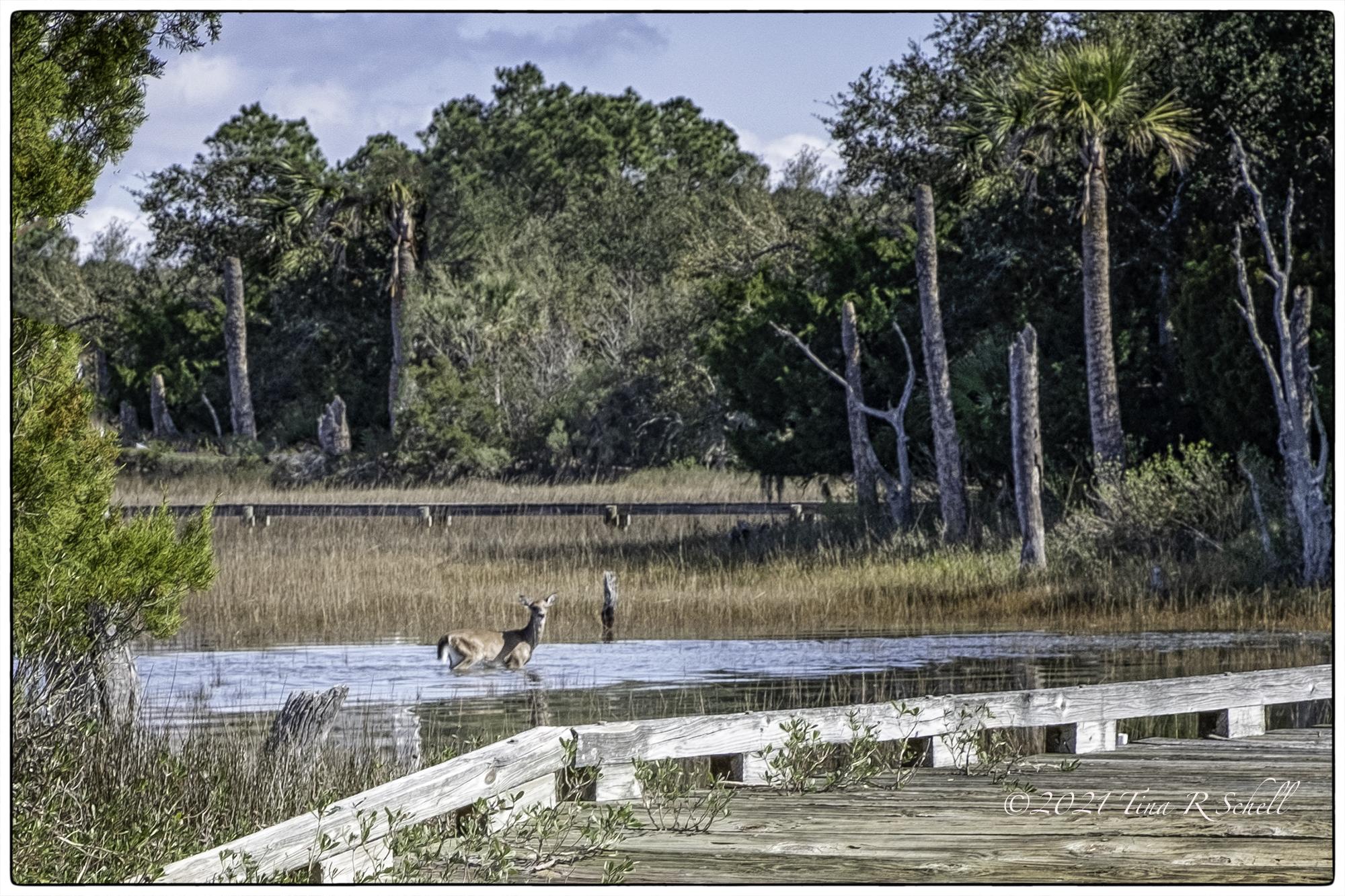 marshland, deer, Seabrook Island