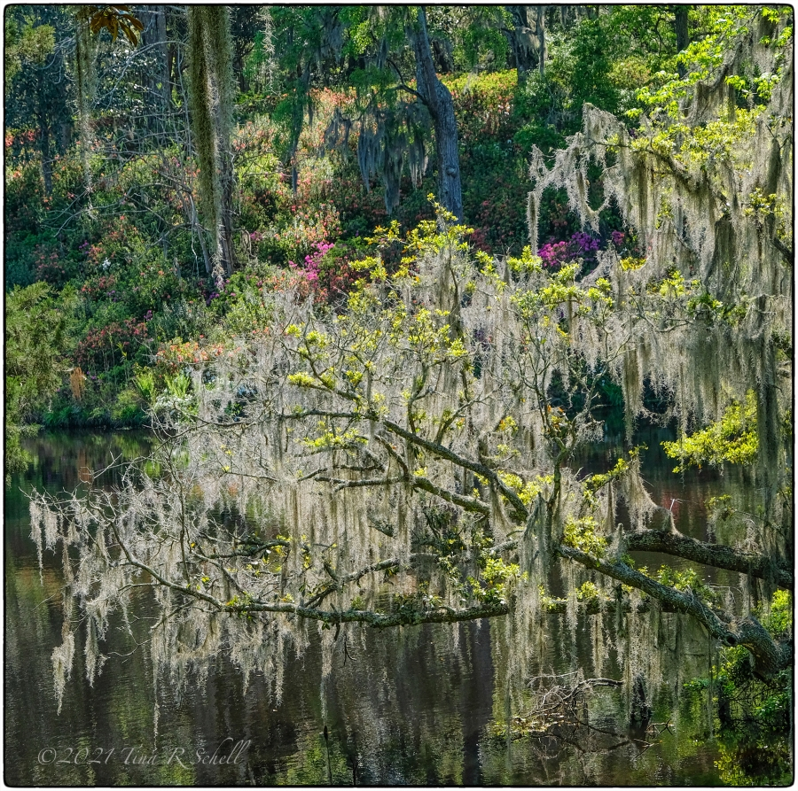 spanish moss, spring, Middleton Plantation, spring