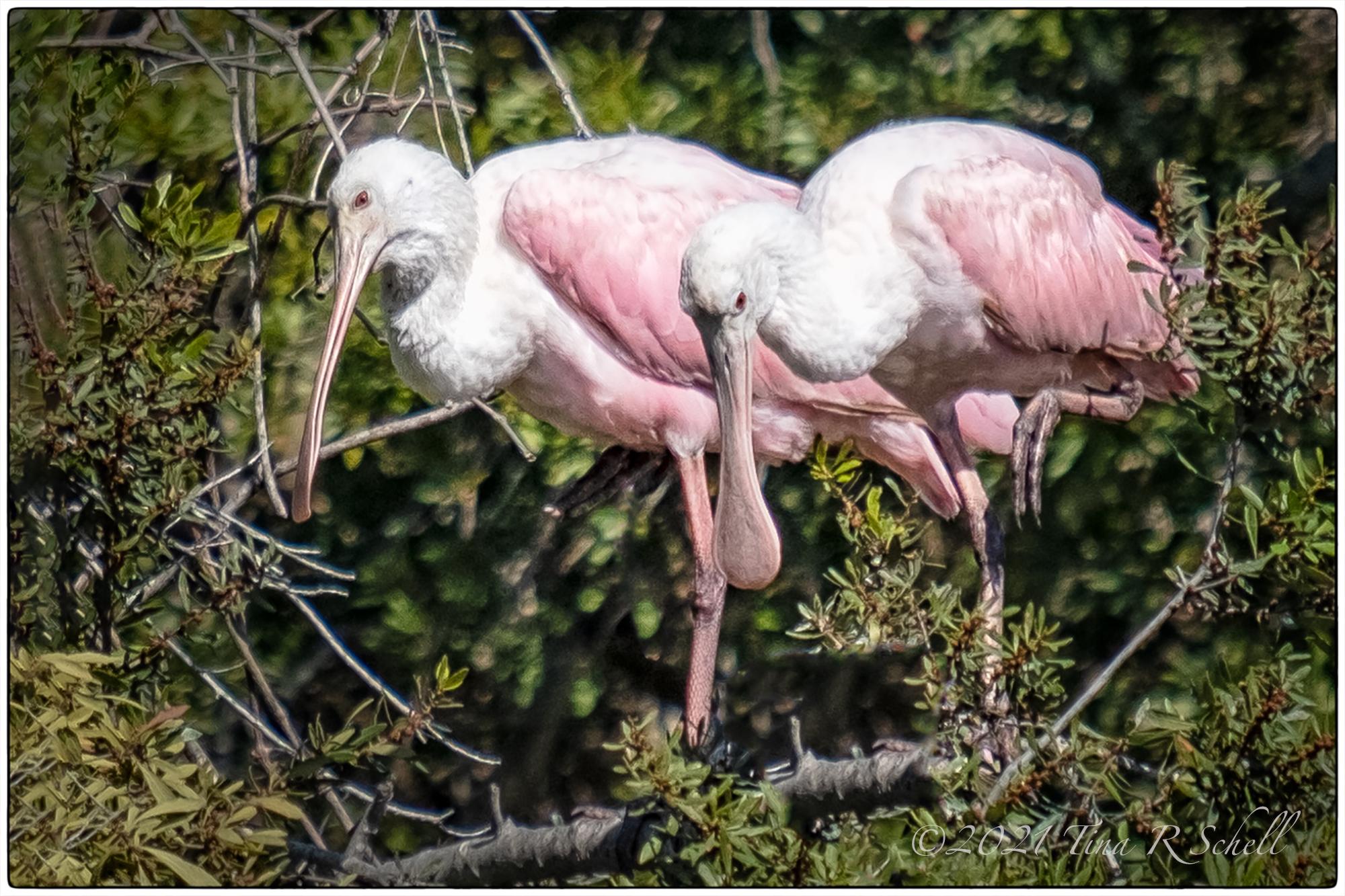 Roseate spoonbills, pink, birds
