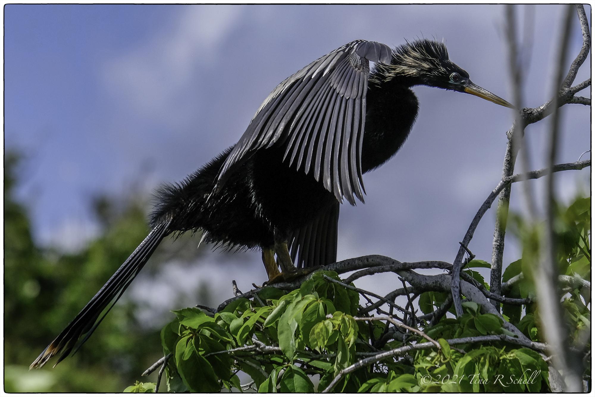 anhinga, Kiawah, bird
