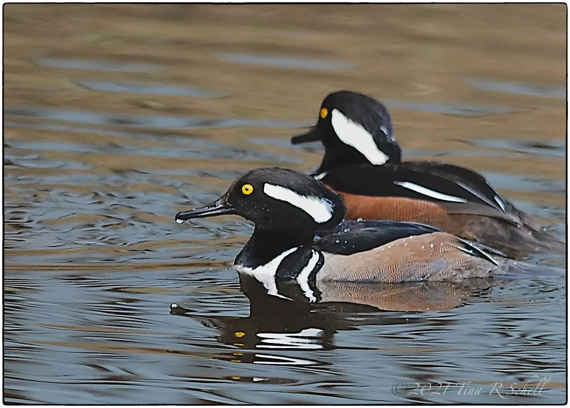 Hooded merganser, pair, ducks