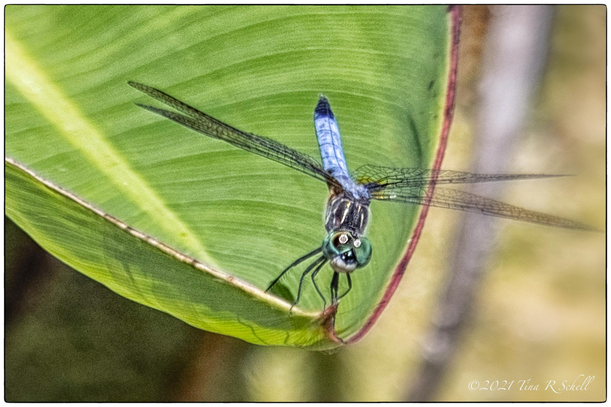 dragonfly, eyes, leaf