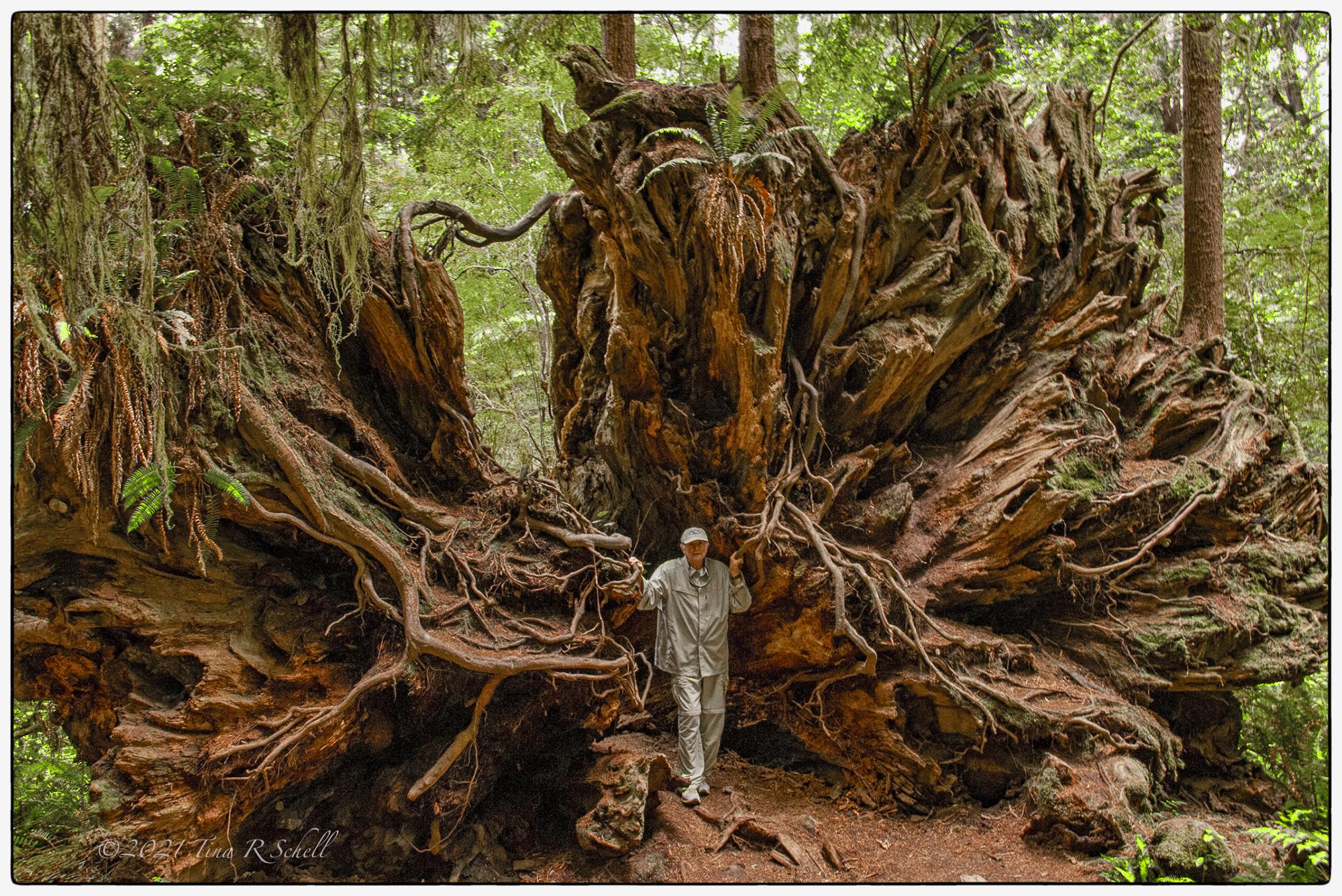 fallen sequoia roots