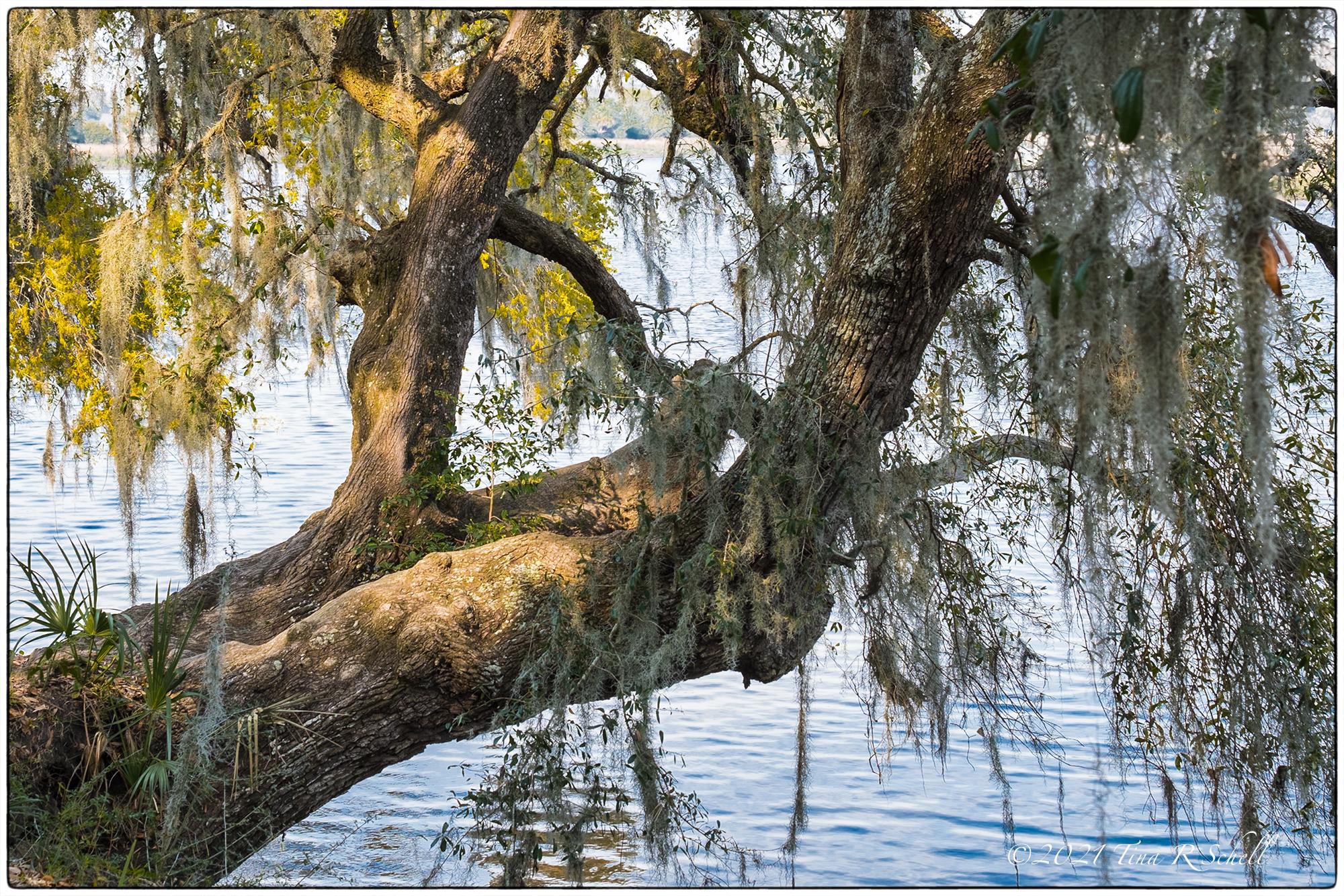 live oak tree, Magnolia Gardens