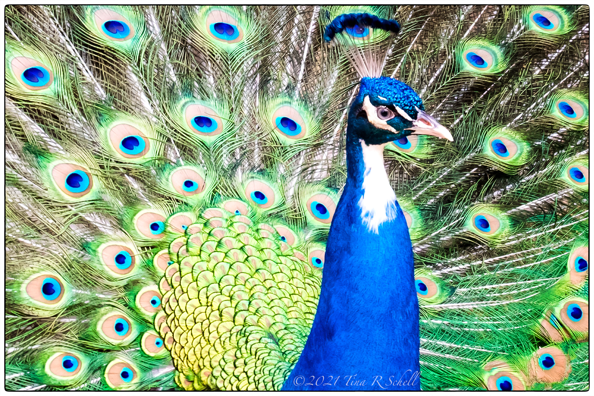 peacock, blue, green