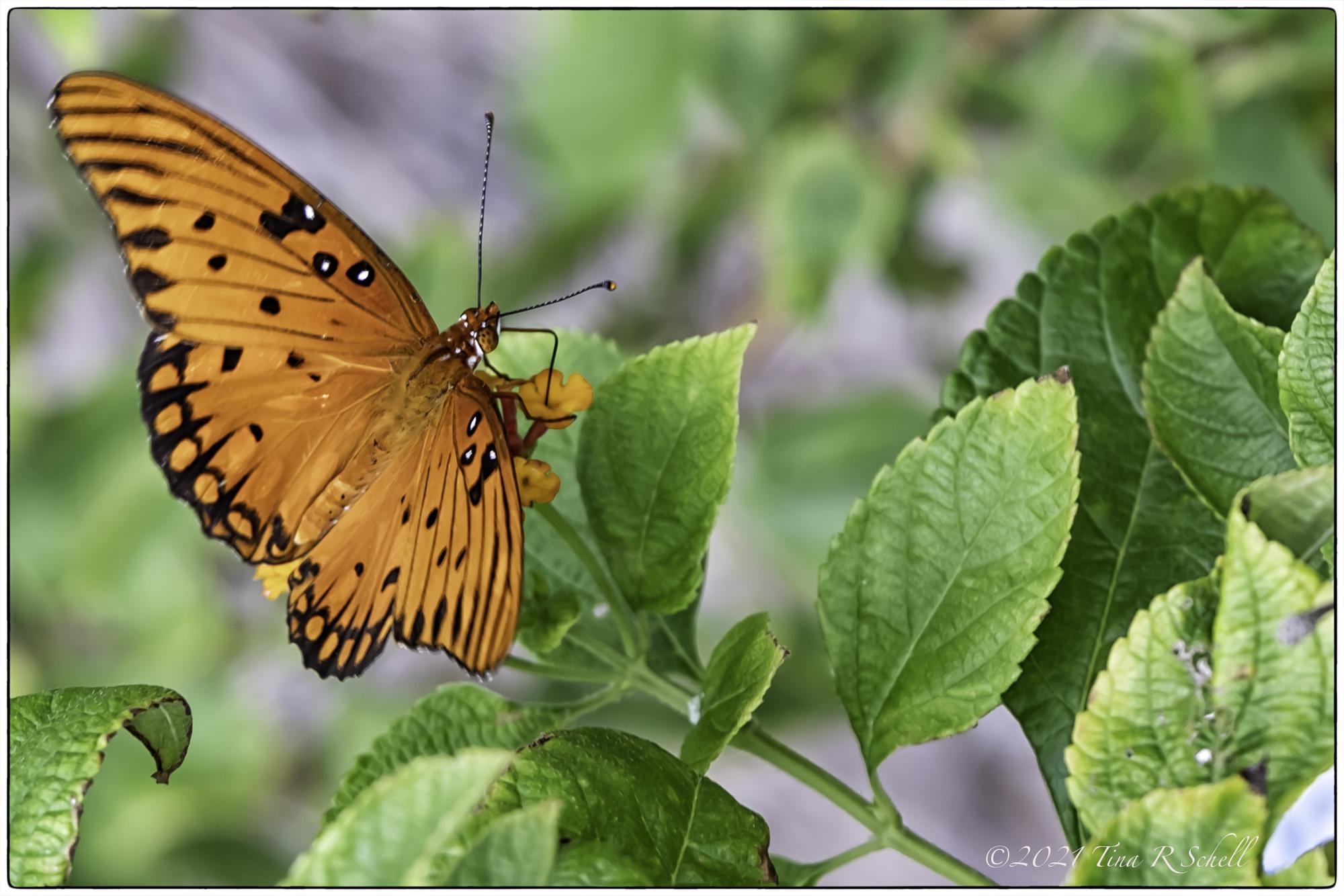 gulf fritillary, butterfly, orange, green leaves, spots