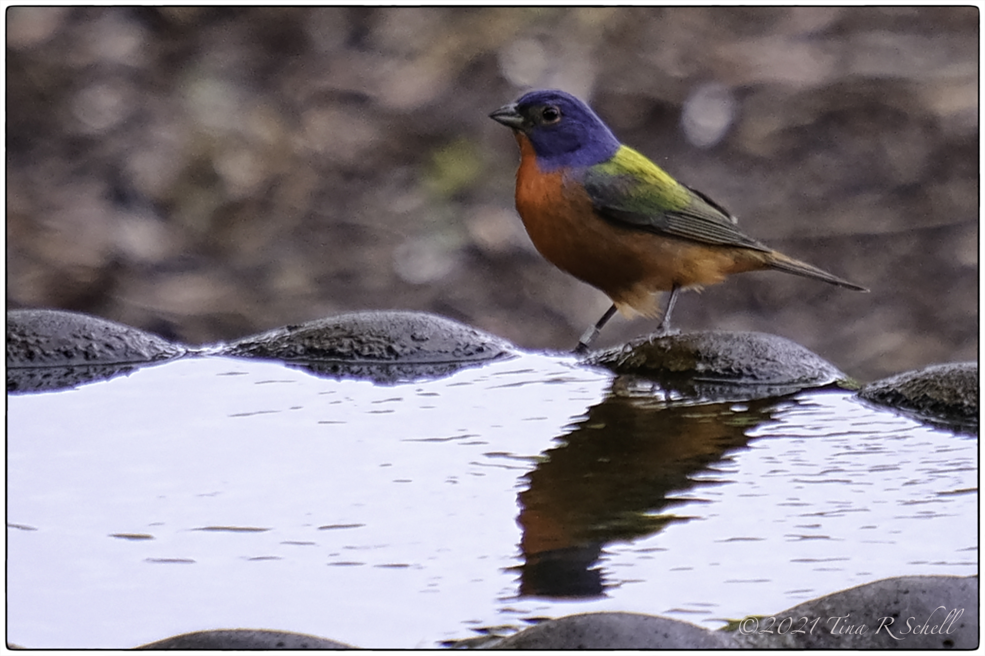 Painted Bunting, colorful, bird