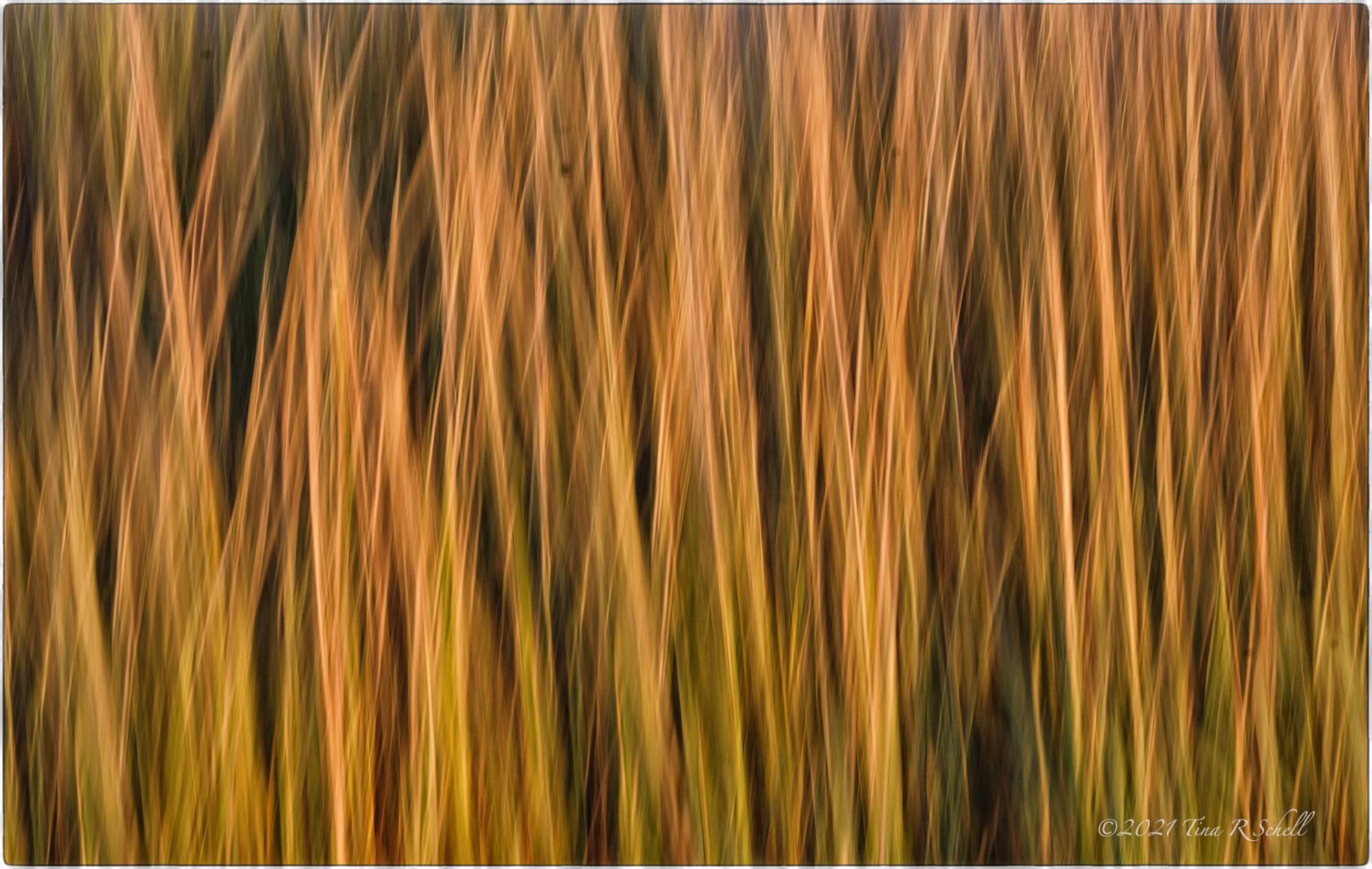 grasses, camera pan, golden