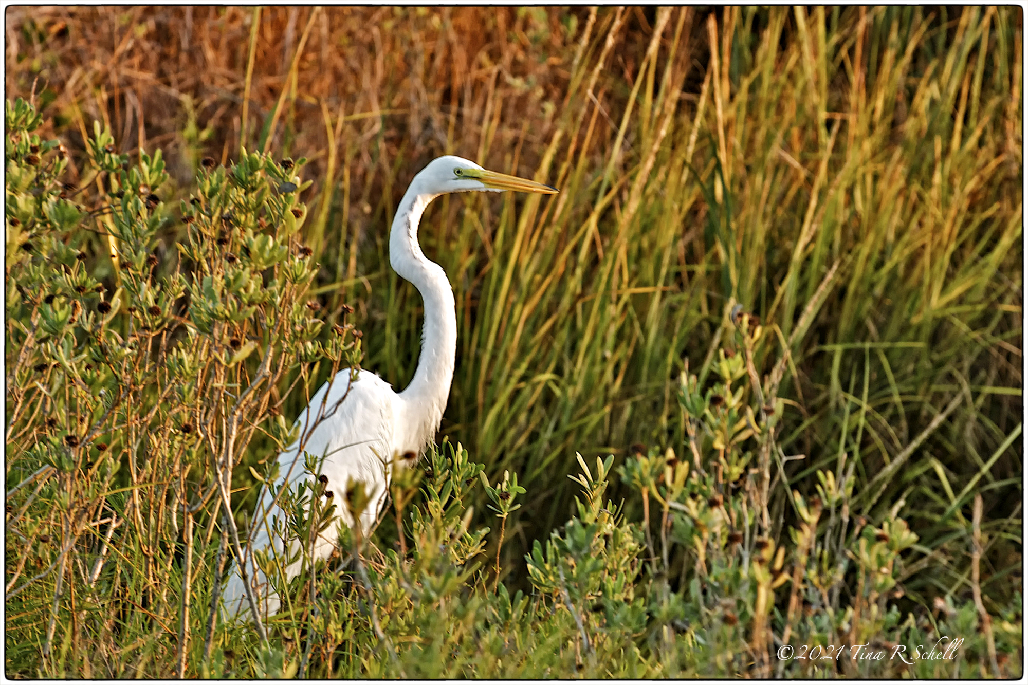egret, autumn, grasses, marsh